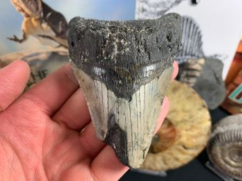 Megalodon Tooth - 3.81 inch #33