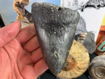Megalodon Tooth - 4.44 inch #41