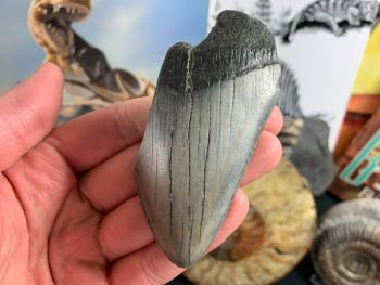 Megalodon Tooth - 3.5 inch #44