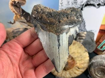 Megalodon Tooth - 4.25 inch #45