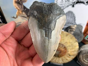 Megalodon Tooth - 3.88 inch #46