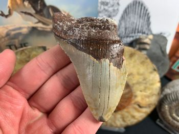 Megalodon Tooth - 3.38 inch #50
