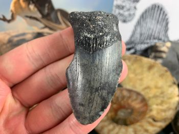 Megalodon Tooth - 2.56 inch #62