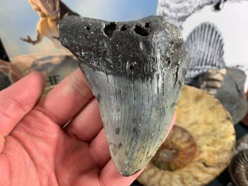 Megalodon Tooth - 4 inch #64