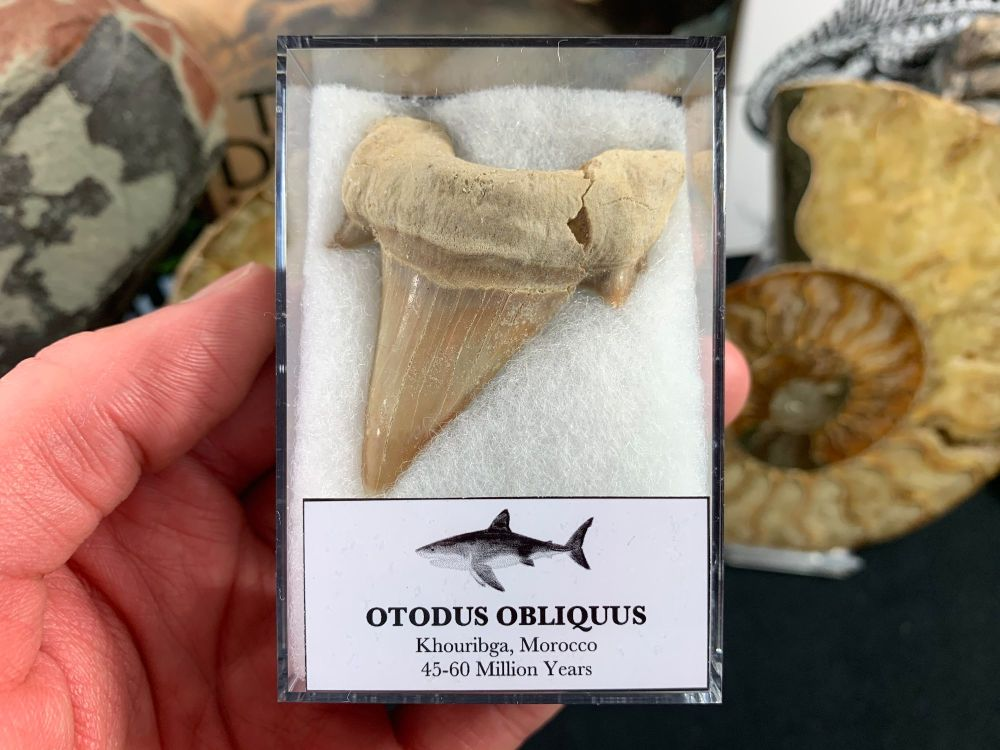 XL Otodus obliquus Shark Tooth #03