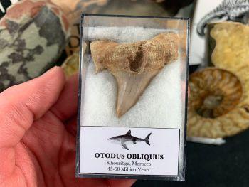 XL Otodus obliquus Shark Tooth #16