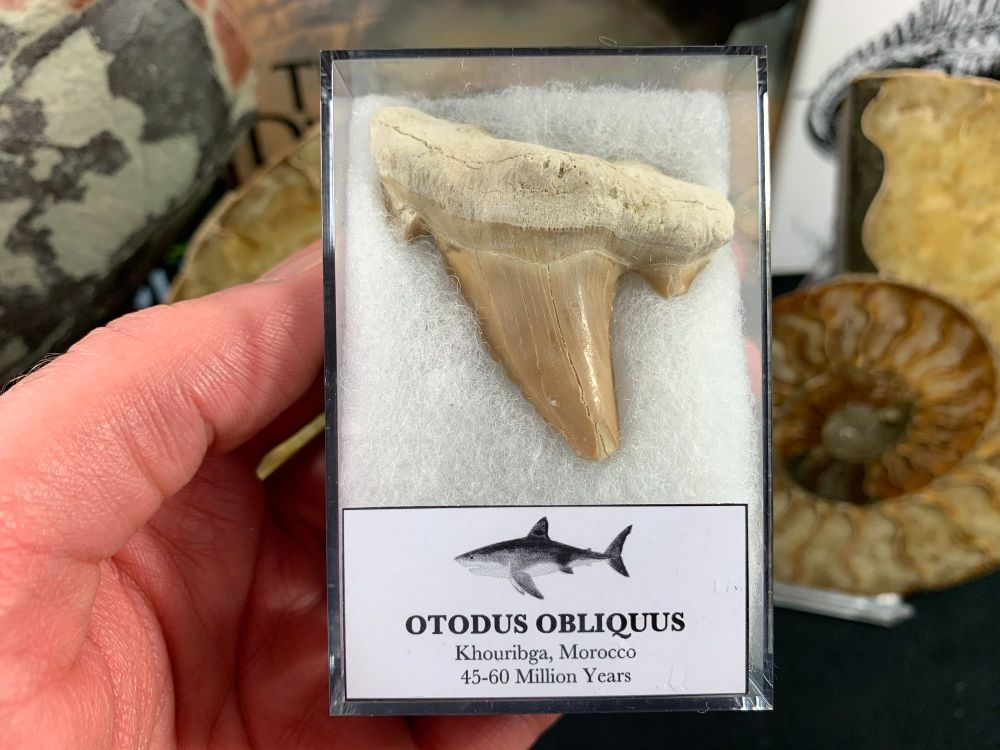 XL Otodus obliquus Shark Tooth #18