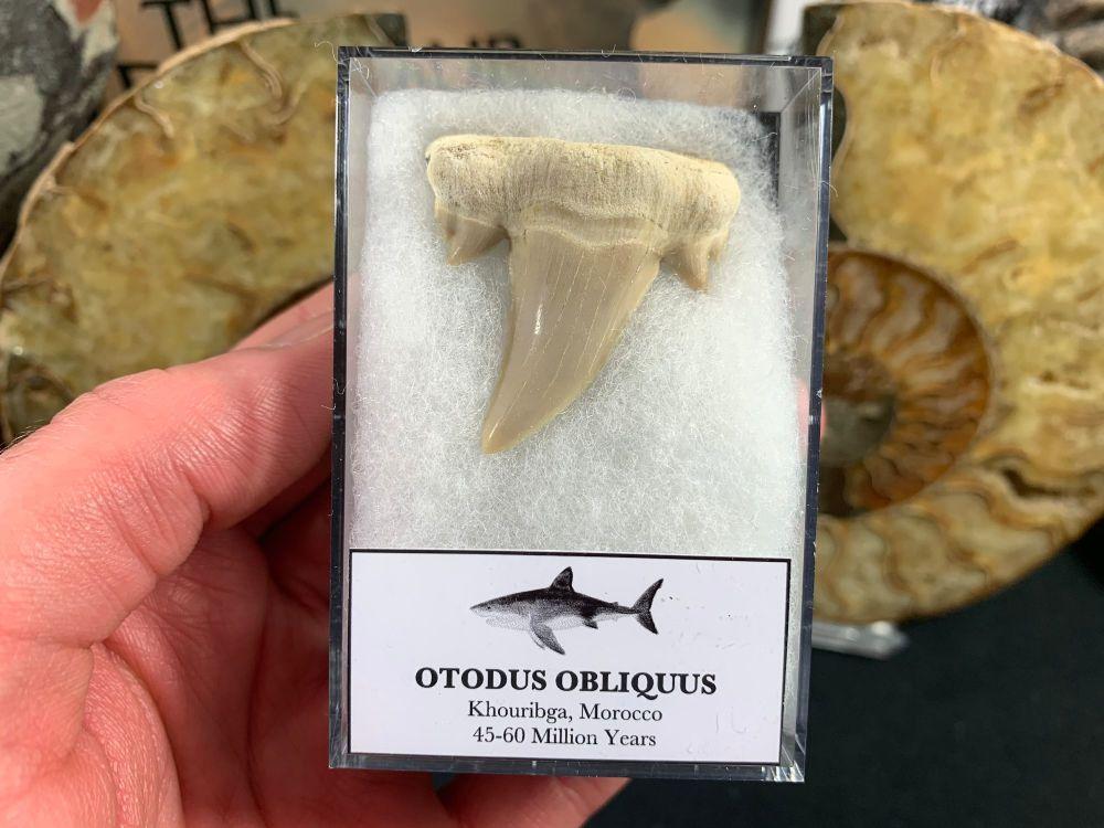 Large Otodus obliquus Shark Tooth #03