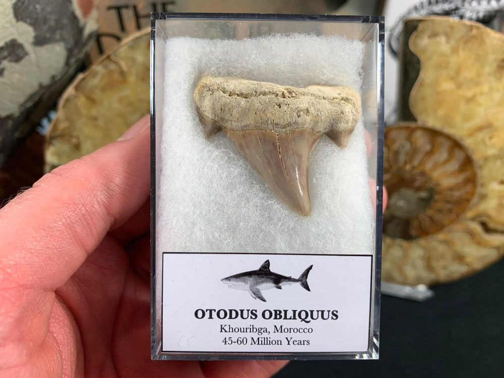 Large Otodus obliquus Shark Tooth #06
