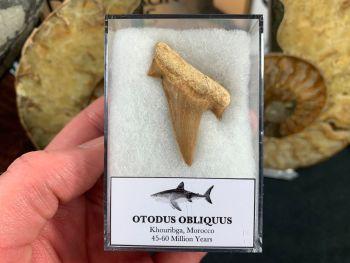 Otodus obliquus Shark Tooth #07