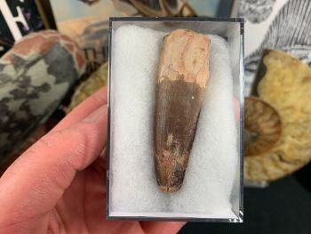 Spinosaurus Tooth - 2.5 inch #SP13