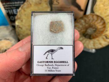 Gastornis (Giant Bird) Eggshell #01