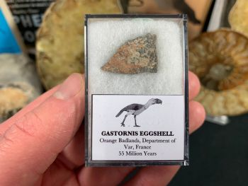 Gastornis (Giant Bird) Eggshell #09