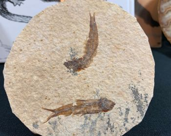Fossil Fish, Green River Formation #05