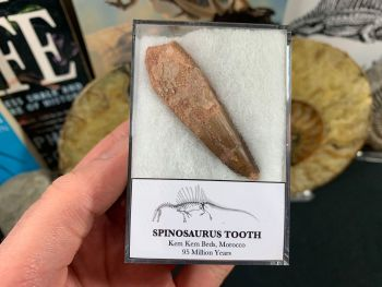 Spinosaurus Tooth - 2.25 inch #SP03