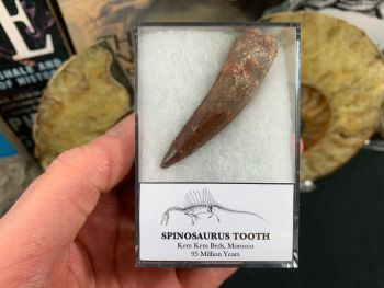 Spinosaurus Tooth - 2.13 inch #SP11