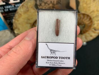 Rebbachisaurid Sauropod Tooth #02
