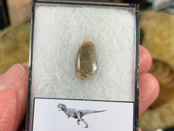 Abelisaur Dinosaur Tooth #AB13