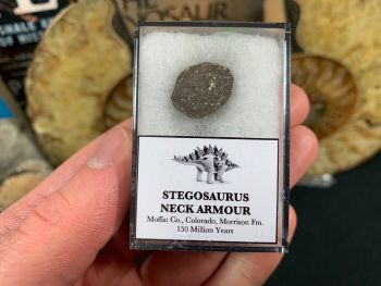 Stegosaurus Neck Armour Plate #01