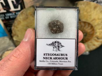 Stegosaurus Neck Armour Plate #02