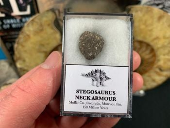 Stegosaurus Neck Armour Plate #03