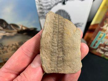Fossil Fern (Pecopteris Mazoniana), Mazon Creek #MC03