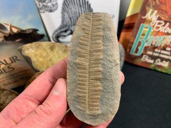 Fossil Fern (Pecopteris Mazoniana), Mazon Creek #MC04