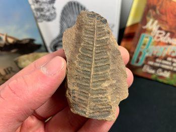 Fossil Fern (Pecopteris Mazoniana), Mazon Creek #MC05