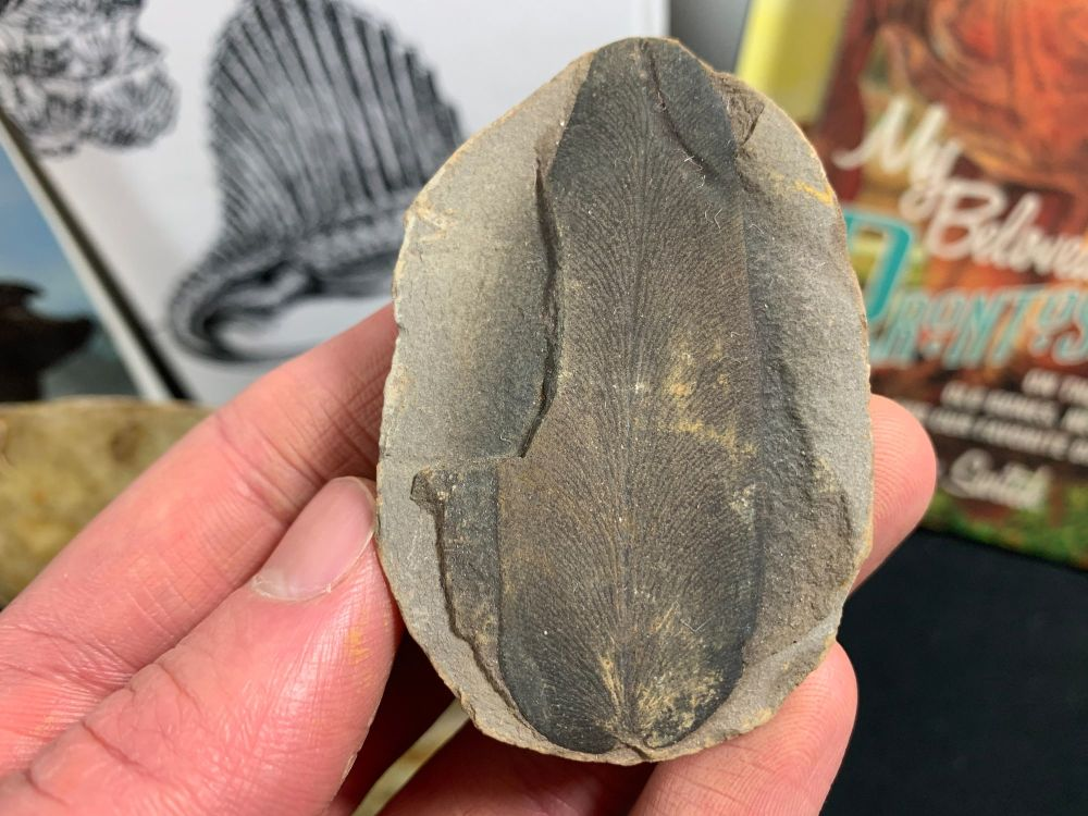 Fossil Fern (Macroneuropteris), Mazon Creek #MC14