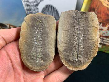 Fossil Fern (Cyathocarpus Hemitelioides), Mazon Creek #MC20