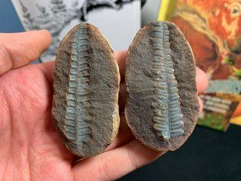 Fossil Fern (Cyathocarpus Hemitelioides), Mazon Creek #MC21