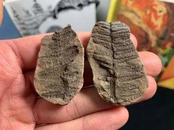 Fossil Fern, Mazon Creek #MC22