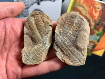 Fossil Fern (Pecopteris Mazoniana), Mazon Creek #MC23