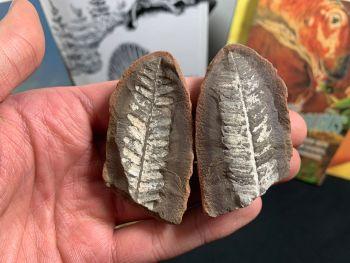 Fossil Fern (Pecopteris Mazoniana), Mazon Creek #MC24
