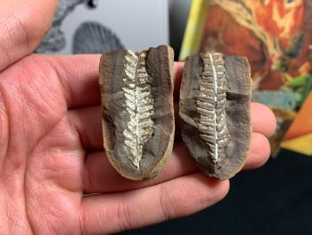 Fossil Fern (Pecopteris Mazoniana), Mazon Creek #MC26