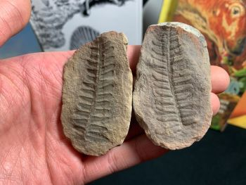 Fossil Fern (Pecopteris Mazoniana), Mazon Creek #MC27