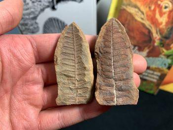 Fossil Fern (Pecopteris Mazoniana), Mazon Creek #MC29