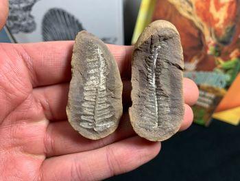 Fossil Fern (Pecopteris Mazoniana), Mazon Creek #MC30