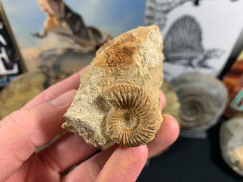 Garantiana Ammonite, Dorset - 2.5cm #02