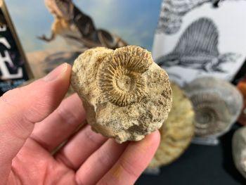 Garantiana Ammonite, Dorset - 2.5cm #03