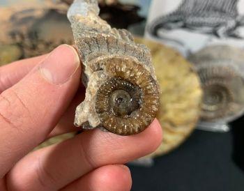 Promicroceras Ammonite, Lyme Regis #06