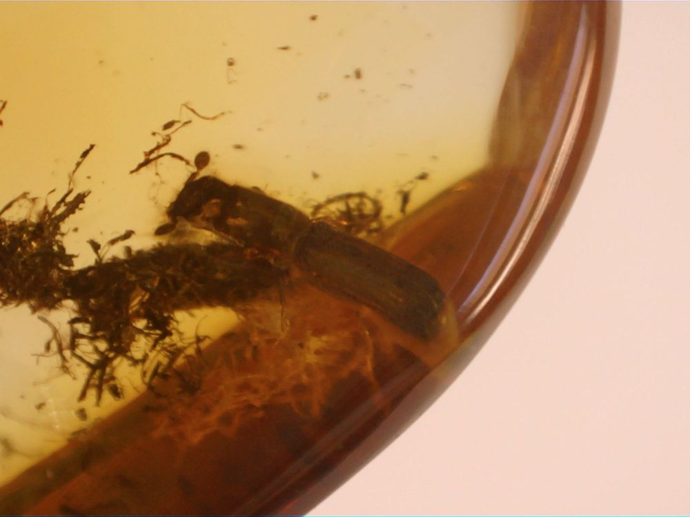 Dominican Amber Inclusion #19 (Flat-footed Beetle)