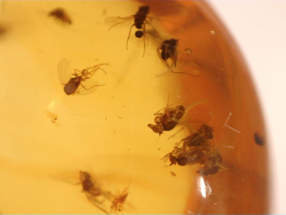 Dominican Amber Inclusion #24 (Swarm of Flies & Ant)