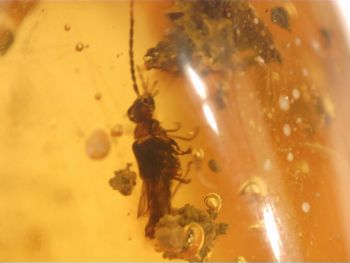 Dominican Amber Inclusion #27 (Insect)