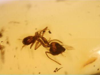 Dominican Amber Inclusion #32 (Ant & Midge)