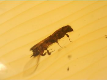 Dominican Amber Inclusion #41 (Beetle)