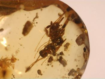 Dominican Amber Inclusion #45 (Ant & Larger Insect)