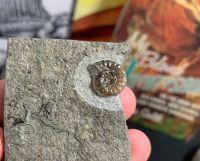 Promicroceras Ammonite, Lyme Regis #12