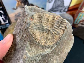 Ogyginus Trilobite (Wales, UK) #02