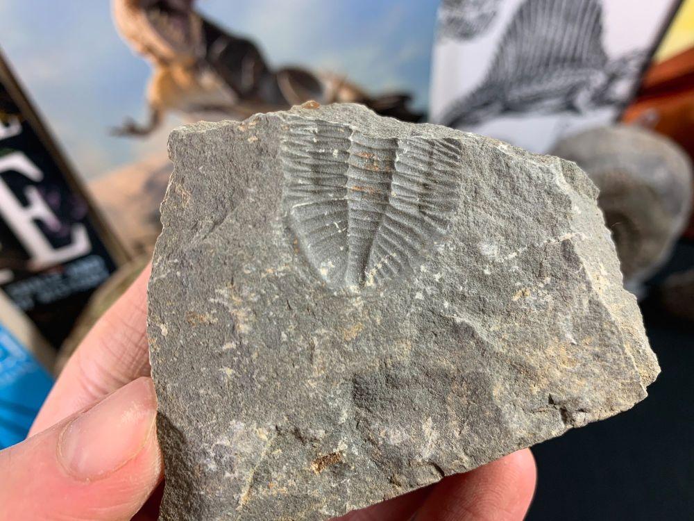Ogyginus Trilobite (Wales, UK) #08